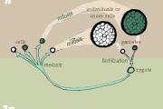 Diagram of zygotic meiosis. (Wikimedia Commons/Maksim)