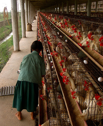 Battery caged hens in India (WNV / Wan Park)