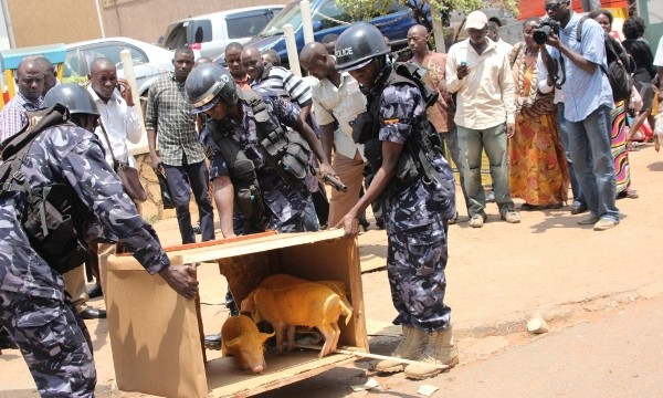 Police apprehend yellow pigs released by Ugandan youth activists in downtown Kampala on Feb. 16. (Kenneth Kazibwe)
