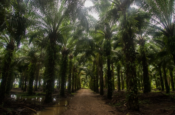 Rows of African palm for the production of palm oil welcomes visiters to Vallecito. African palm has spread like a virus across Garifuna territory and Honduras. (WNV/Jeff Abbott)